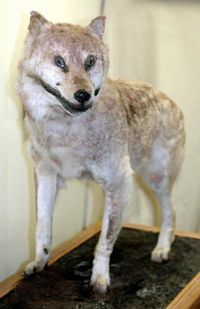 ニホンオオカミ/画像提供:一般社団法人日本オオカミ協会